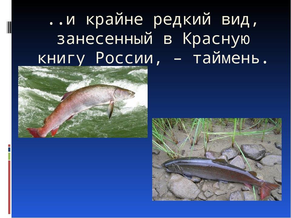 ..и крайне редкий вид, занесенный в Красную книгу России, – таймень.