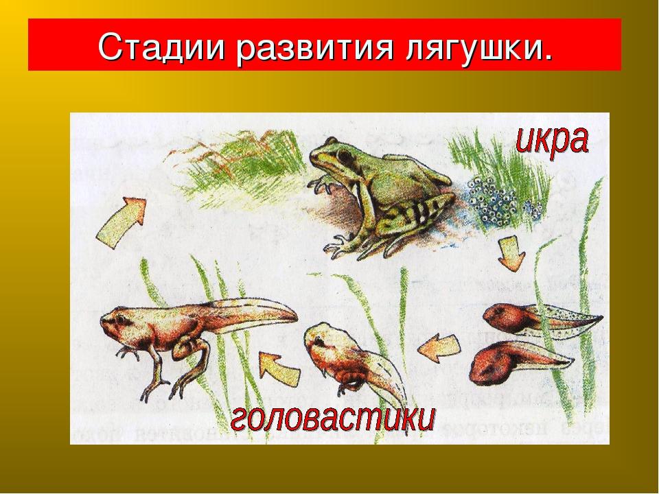 Для, этапы развития лягушки в картинках