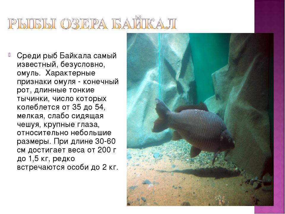 Среди рыб Байкала самый известный, безусловно, омуль. Характерные признаки ом...