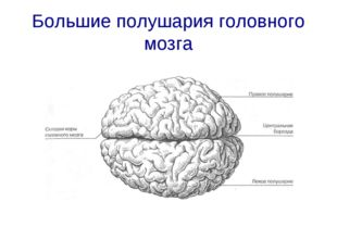 Большие полушария головного мозга