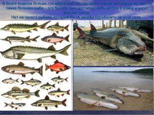 В Волге водится больше ста видов рыб. На картинке только некоторые из них. Но
