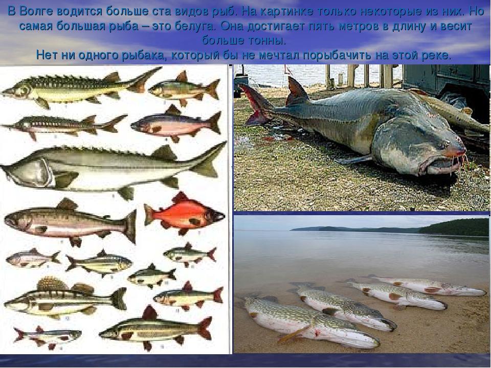 В Волге водится больше ста видов рыб. На картинке только некоторые из них. Но...