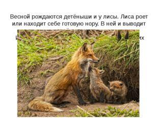 Весной рождаются детёныши и у лисы. Лиса роет или находит себе готовую нору.