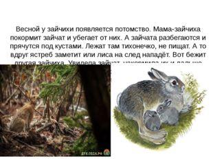 Весной у зайчихи появляется потомство. Мама-зайчиха покормит зайчат и убегае
