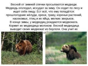 Весной от зимней спячки просыпаются медведи. Медведь оголодал, исхудал за зим