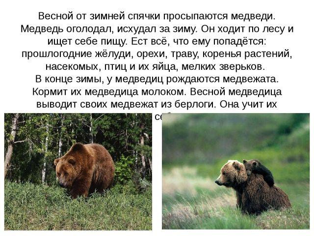 Весной от зимней спячки просыпаются медведи. Медведь оголодал, исхудал за зим...