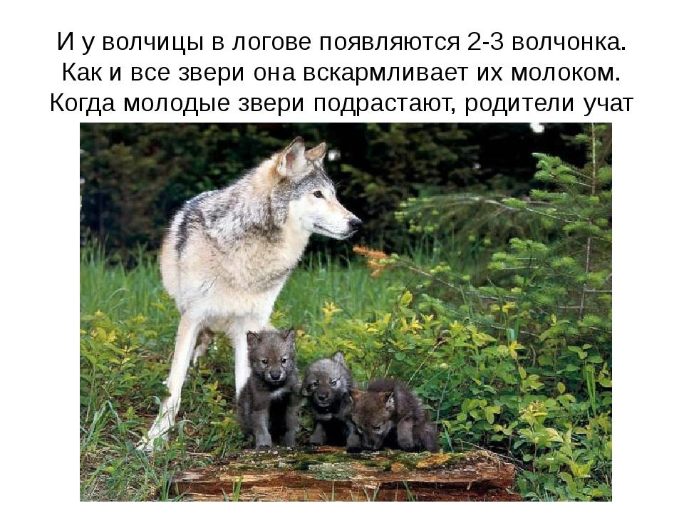 И у волчицы в логове появляются 2-3 волчонка. Как и все звери она вскармливае...