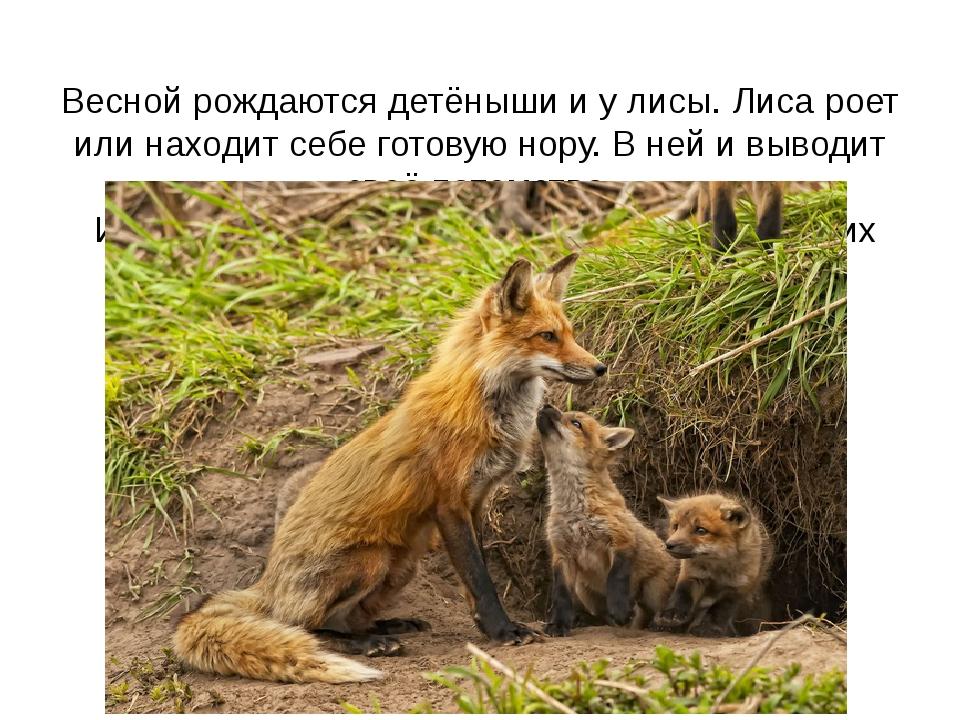 Весной рождаются детёныши и у лисы. Лиса роет или находит себе готовую нору....