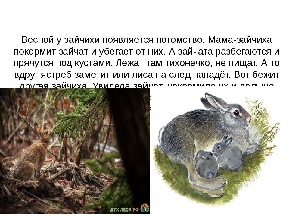 Весной у зайчихи появляется потомство. Мама-зайчиха покормит зайчат и убегае...