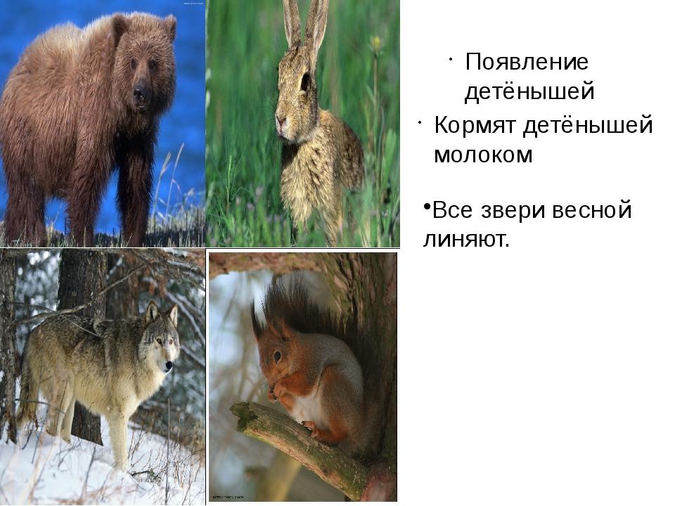Появление детёнышей Кормят детёнышей молоком Все звери весной линяют.