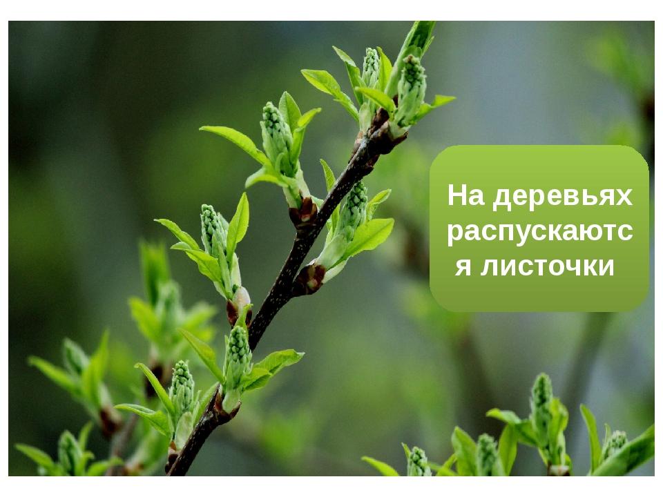 На деревьях распускаются листочки