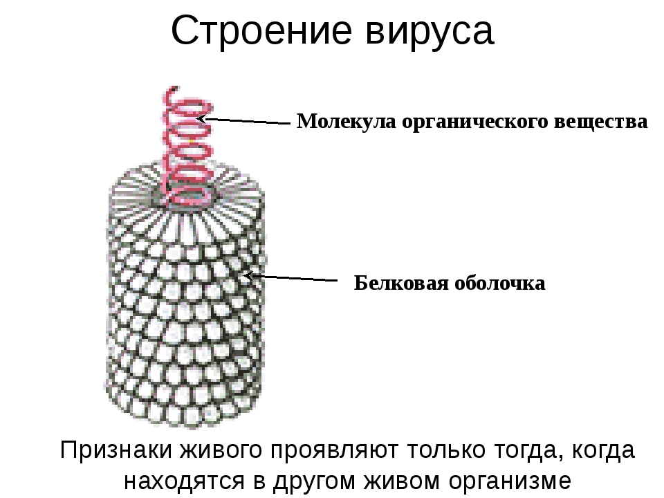Строение вируса Молекула органического вещества Белковая оболочка Признаки жи...