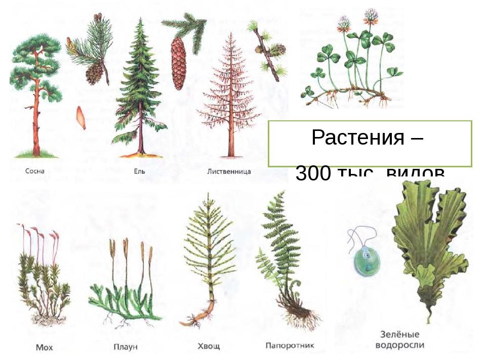 Растения – 300 тыс. видов