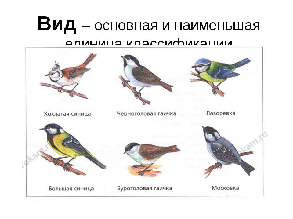 Вид – основная и наименьшая единица классификации