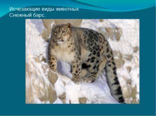 Исчезающие виды животных Снежный барс.