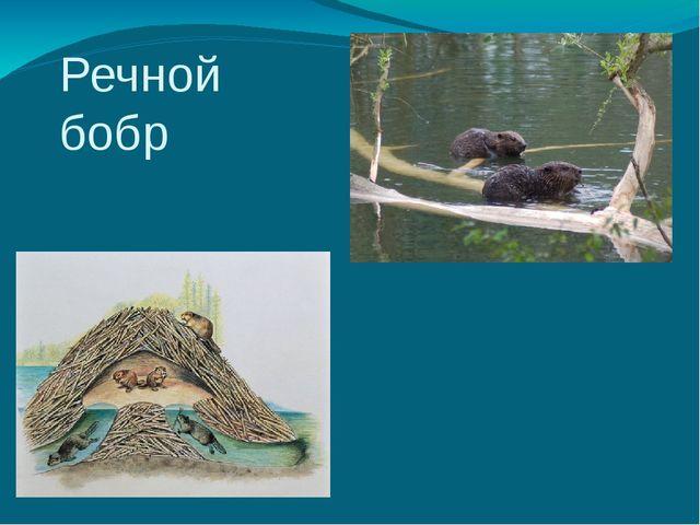 Речной бобр