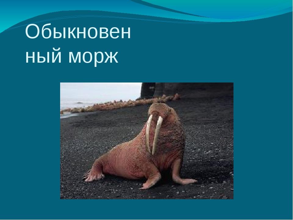 Обыкновенный морж