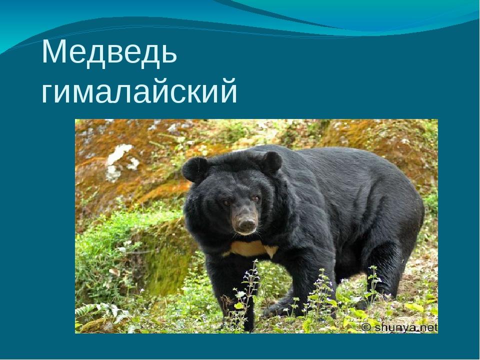 Медведь гималайский