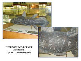 ПЕРЕХОДНЫЕ ФОРМЫ: латимерия (рыбы – земноводные)