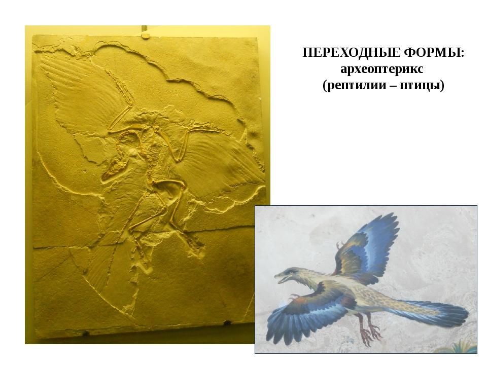 ПЕРЕХОДНЫЕ ФОРМЫ: археоптерикс (рептилии – птицы)