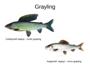 Grayling Сибирский хариус – Arctic grayling Амурский хариус – Amur grayling
