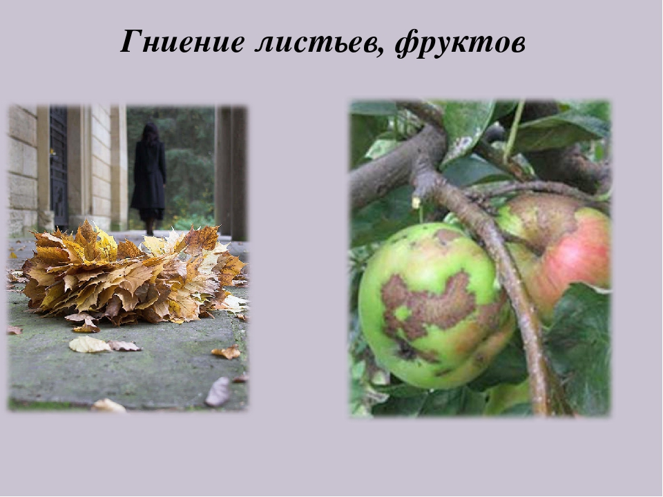 Гниение листьев, фруктов