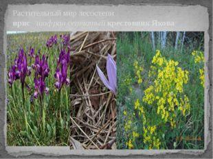 Растительный мир лесостепи ирис шафран сетчатый крестовник Якова
