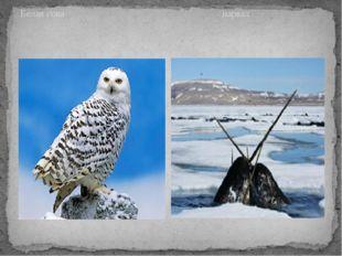Белая сова нарвал