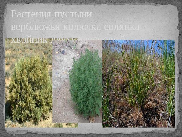 Растения пустыни верблюжья колючка солянка хвойник двухколосковый