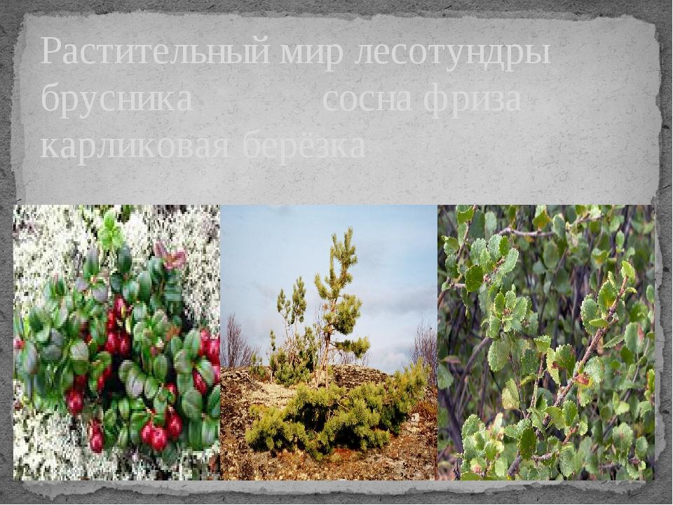 Растительный мир лесотундры брусника сосна фриза карликовая берёзка