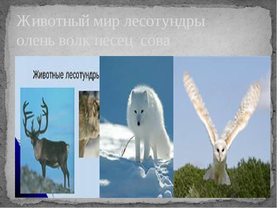 Животный мир лесотундры олень волк песец сова