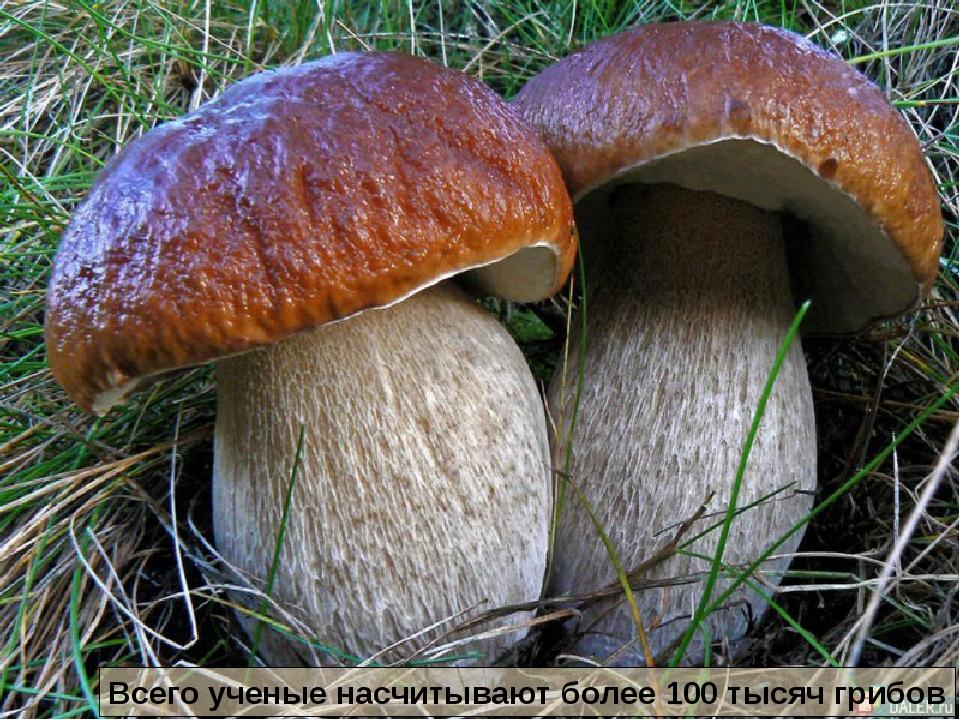 Всего ученые насчитывают более 100 тысяч грибов