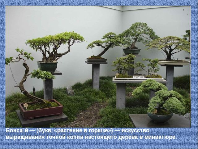 Бонса́й — (букв. «растение в горшке») — искусство выращивания точно...