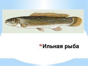 Ильная рыба