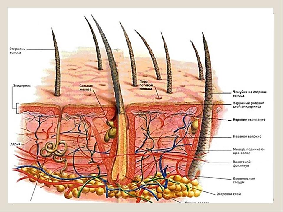 хорошо описано, функции кожи человека реферат с картинками строения капибары ноздри
