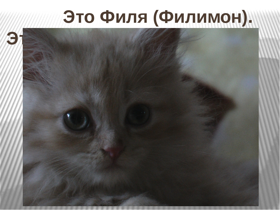 Это Филя (Филимон). Это кот – подарок. Таким Филя был маленьким.