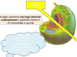 ЯДРО  Хромосомы обеспечивают передачу наследственных свойств клетки дочерним