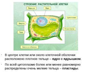 В центре клетки или около клеточной оболочки расположено плотное тельце – ядр