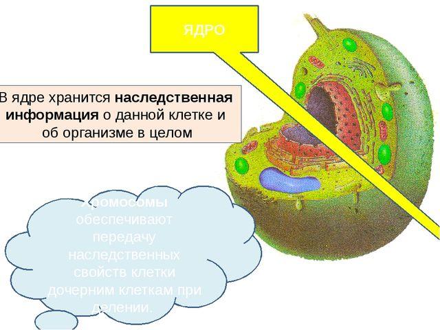 ЯДРО  Хромосомы обеспечивают передачу наследственных свойств клетки дочерним...