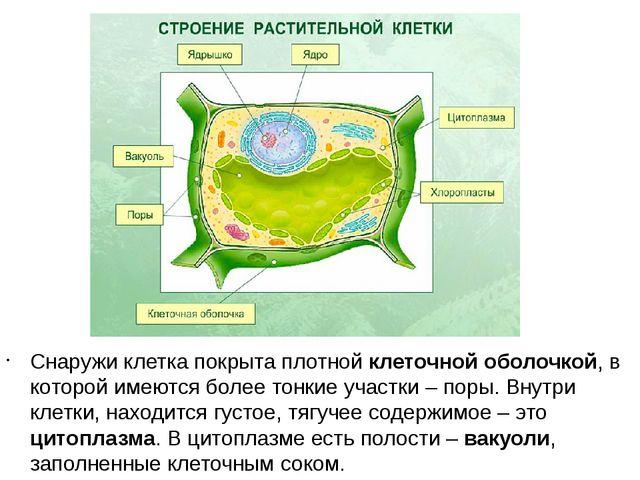 Снаружи клетка покрыта плотной клеточной оболочкой, в которой имеются более т...