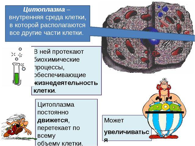 Может увеличиваться в объеме. Цитоплазма– внутренняя среда клетки, в которой...