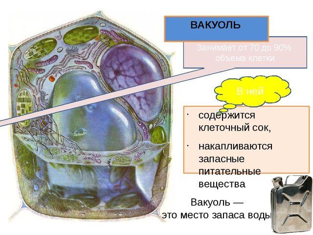содержится клеточный сок, накапливаются запасные питательные вещества Занимае...