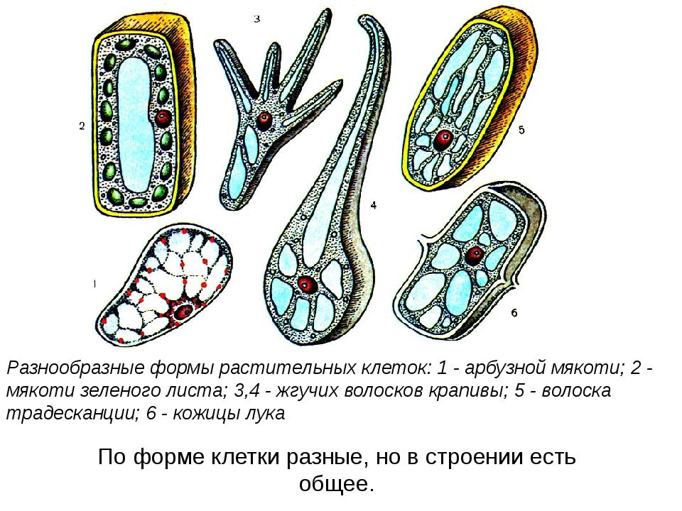 Разнообразные формы растительных клеток: 1 - арбузной мякоти; 2 - мякоти зеле...