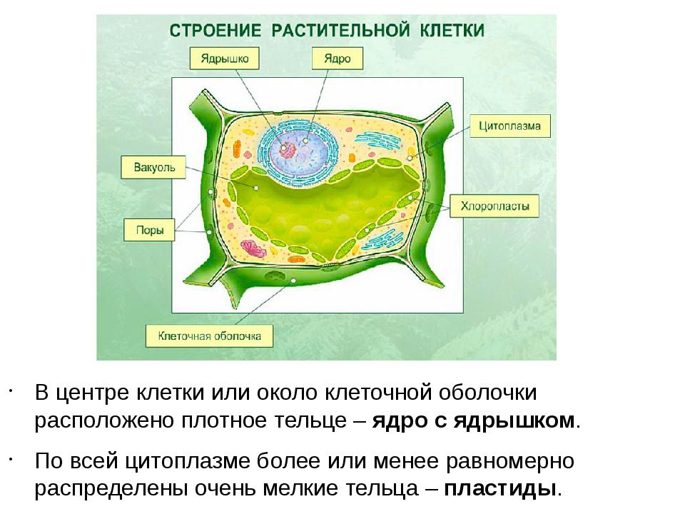 В центре клетки или около клеточной оболочки расположено плотное тельце – ядр...