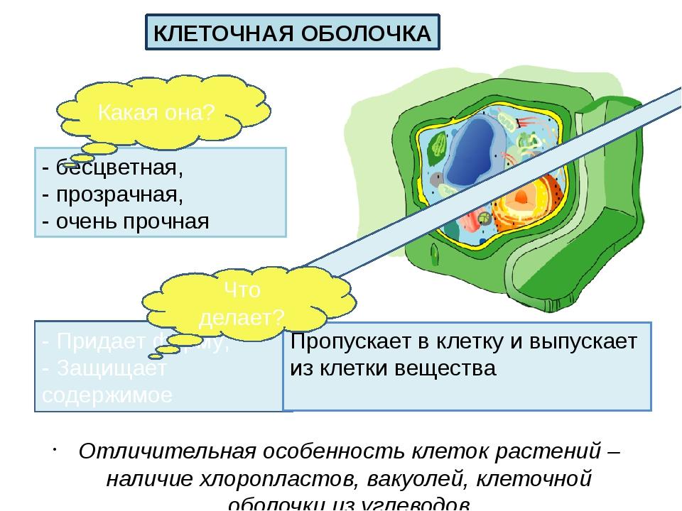 Отличительная особенность клеток растений – наличие хлоропластов, вакуолей, к...
