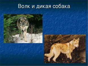 Волк и дикая собака