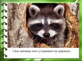 Свое жилище енот устраивает на деревьях.