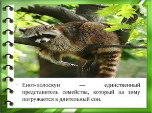 Енот-полоскун — единственный представитель семейства, который на зиму погруж
