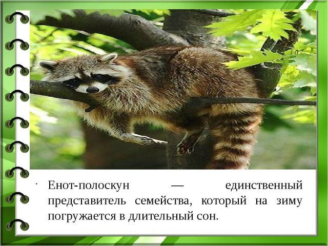 Енот-полоскун — единственный представитель семейства, который на зиму погруж...