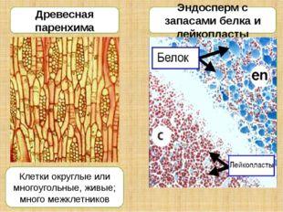 Древесная паренхима Эндосперм с запасами белка и лейкопласты Клетки округлые